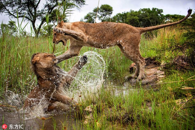 这两头活力满满的狮子一雄一雌在草丛间的水坑里相互打闹,画面中母狮