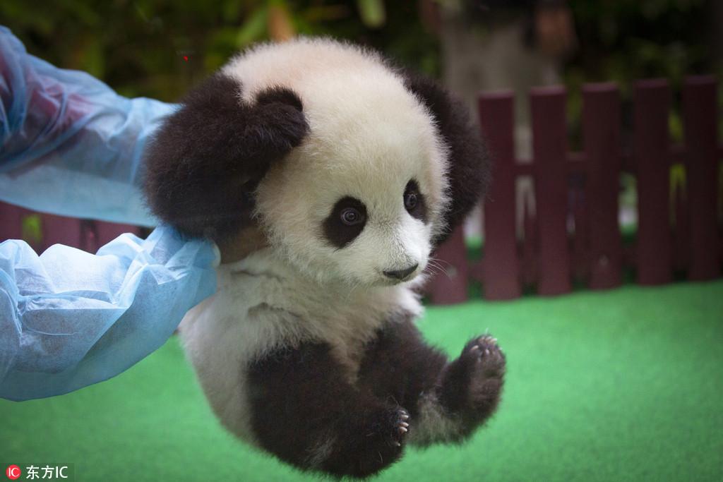 马来熊猫宝宝亮相 小手捂耳朵表情萌翻了14