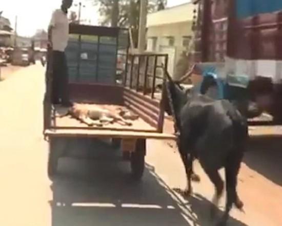 铁算盘4749执着的母爱!小牛受伤送医母牛紧追汽车不离不弃