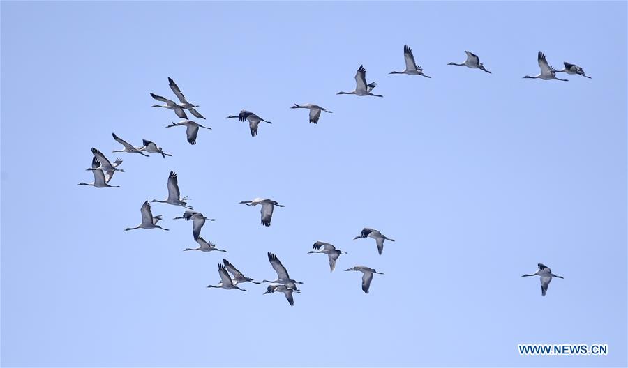 Migratory birds fly over wetland in suburban Beijing (2)