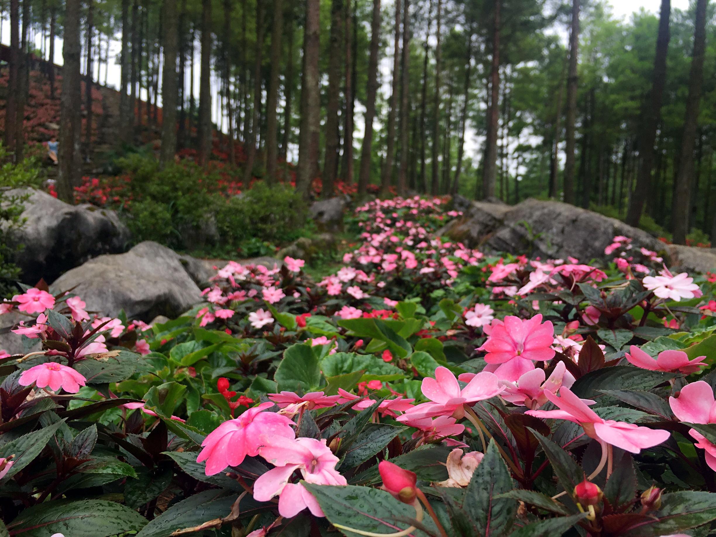 花海景区三大核心景点之一,占地约1100亩,是目前国内最大的耐阴花卉