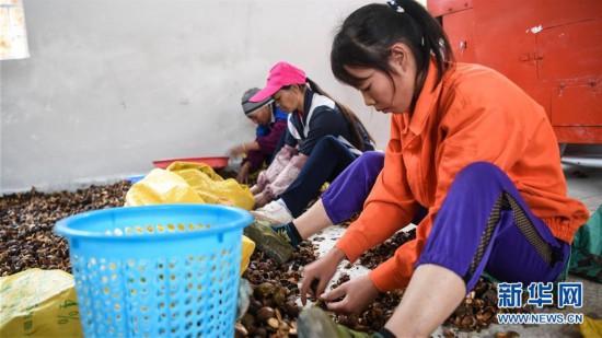 (经济)(2)广西凌云:低产油茶改造助农脱贫