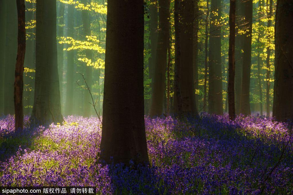 清晨中的风信子花海森林 树荫斑驳美得难以置信