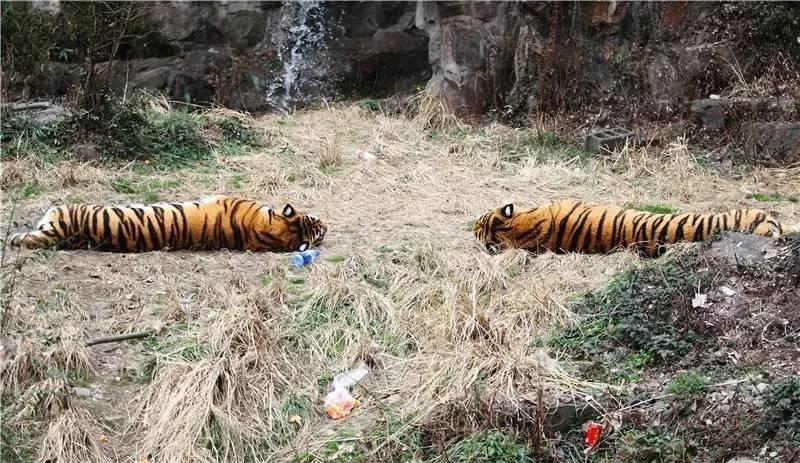 40多年前杭州动物园这条老虎新闻,杭州人基本都不知道!