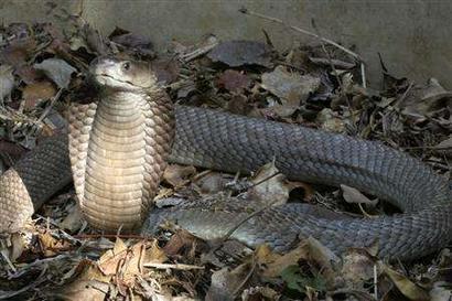 虽然中国南方有舟山眼镜蛇分布,但是南京这个纬度的地区,冬天还是很冷