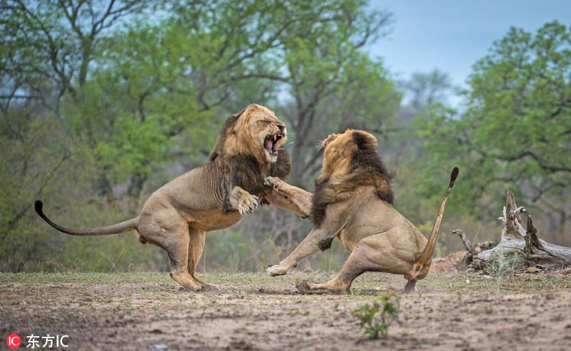 南非狮子争夺支配权兄弟相残毫不手软 【一点资讯】